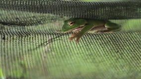 La rana arbórea verde esmeralda que descansa en una cerca del metal, natural a Taiwán almacen de metraje de vídeo