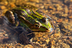 La rana Brown verde sulla palude Immagini Stock Libere da Diritti