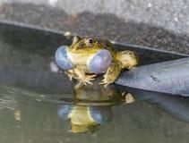 La rana che fa chiamata accoppiamento Fotografia Stock Libera da Diritti