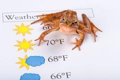 La rana come profeta del tempo formula le previsioni del tempo, versione inglese Immagine Stock