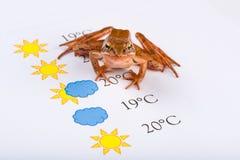 La rana come profeta del tempo formula le previsioni del tempo, versione universale Fotografie Stock Libere da Diritti
