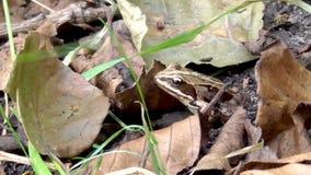 La rana comune sta sedendosi video d archivio