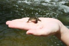 La rana del río Imagen de archivo