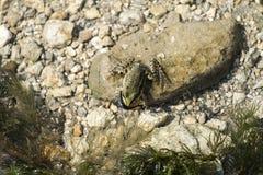 La rana della palude si siede su una roccia Immagini Stock Libere da Diritti