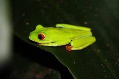 La rana di albero con gli occhi rossi magnifica di Matagalpa Nicaragua immagini stock libere da diritti