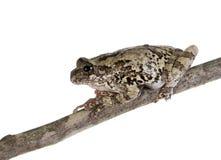 La rana di albero grigia su un bastone Immagini Stock