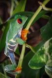 La rana di albero osservata rosso è grande clamber fotografia stock