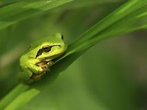 La rana di albero verde Fotografia Stock Libera da Diritti