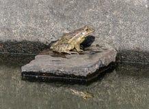 La rana e l'ombra Fotografie Stock Libere da Diritti