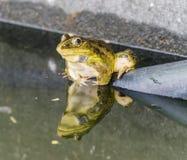 La rana e l'ombra Fotografia Stock Libera da Diritti
