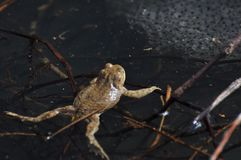 La rana en el agua del lago fotografía de archivo