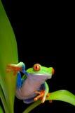 La rana en las hojas de la planta aisló negro imágenes de archivo libres de regalías