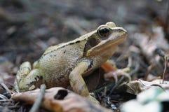 La rana gris verdosa se sienta en un bosque en las hojas secas imagen de archivo