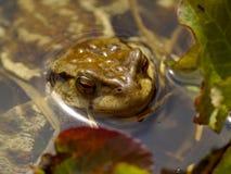 La rana ha messo fuori una testa dall'acqua Fotografia Stock Libera da Diritti