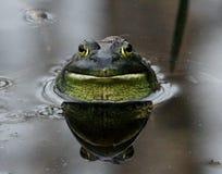 La rana mugidora con el insecto espera en la charca Foto de archivo libre de regalías