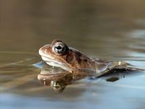 la rana nell'ambiente naturale, rane accumula la foresta Immagine Stock Libera da Diritti