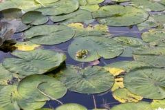 La rana nello stagno Fotografia Stock