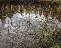 La rana nuevamente puesta eggs de la rana marrón común del europeo, temporaria del Rana, en una charca de la rana en Kristiansand fotos de archivo libres de regalías