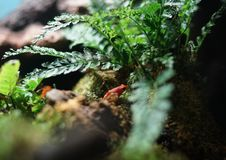 La rana roja en una piedra debajo de los helechos imágenes de archivo libres de regalías