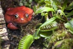 La rana rossa in piante carnivore cerca sugli insetti Fotografie Stock