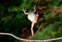 La rana salta Imagen de archivo