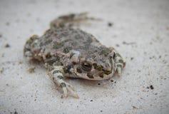 La rana se disfraza en un fondo gris foto de archivo libre de regalías