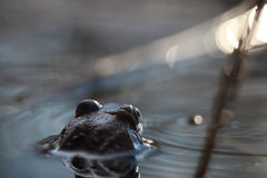 La rana si dirige indietro in acqua Immagini Stock