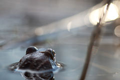 La rana si dirige indietro in acqua Fotografia Stock Libera da Diritti