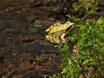 La rana sienta en un inicio de sesión la madera y está al acecho en una mosca fotografía de archivo libre de regalías