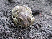 La rana sulla terra fotografie stock libere da diritti