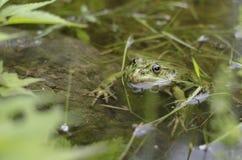 La rana verde immagini stock libere da diritti