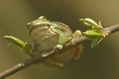 La rana verde Fotografia Stock