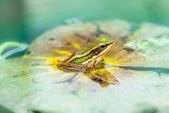La rana verde en la hoja del loto Fotos de archivo