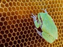 La rana verde se sienta en las colmenas vacías de la cera Fotos de archivo