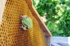 La rana verde se sienta en las colmenas vacías de la cera Imagenes de archivo