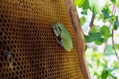 La rana verde se sienta en las colmenas vacías de la cera Fotos de archivo libres de regalías