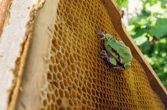 La rana verde se sienta en las colmenas vacías de la cera Imágenes de archivo libres de regalías