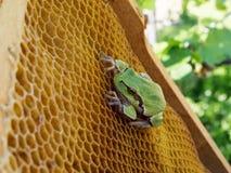 La rana verde se sienta en las colmenas vacías de la cera Fotografía de archivo