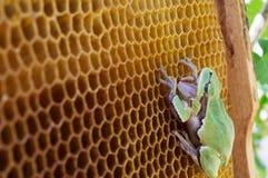 La rana verde se sienta en las colmenas vacías de la cera Foto de archivo libre de regalías