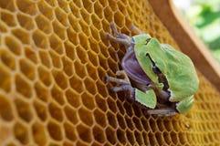 La rana verde se sienta en las colmenas vacías de la cera Fotografía de archivo libre de regalías