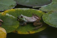La rana verde si siede sulle foglie del giglio in uno stagno immagine stock libera da diritti