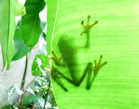 La rana vistosa del foglio Fotografia Stock Libera da Diritti
