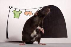 La rata en la casa. Fotografía de archivo libre de regalías