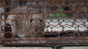 La rata estaba en una jaula que cogía una rata que la rata tiene contagio la enfermedad a los seres humanos tales como leptospiro almacen de metraje de vídeo