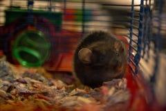La rata se sienta en jaula imagen de archivo libre de regalías