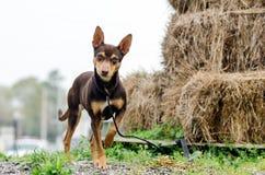 La rata Terrier del chocolate mezcló la foto de la adopción del perro de la raza Foto de archivo libre de regalías
