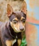 La rata Terrier del chocolate mezcló la foto de la adopción del perro de la raza Imagenes de archivo