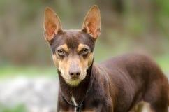 La rata Terrier del chocolate mezcló la foto de la adopción del perro de la raza Imágenes de archivo libres de regalías