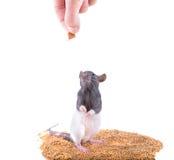 La rata toma un forraje Imágenes de archivo libres de regalías