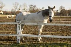 La raza checa del caballo, blanco de Starokladruby domesticó caballos en pasto fotografía de archivo libre de regalías